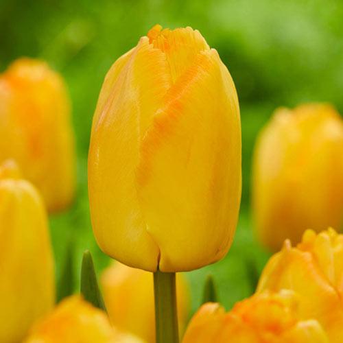 Yellow Pride Tulip