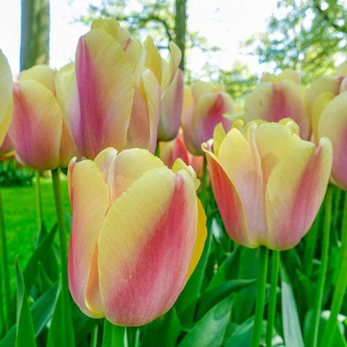 Coral Pride Tulip