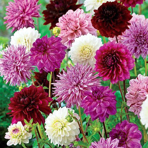 Shop Monet\'s Garden Dahlia Mixture at Breck\'s
