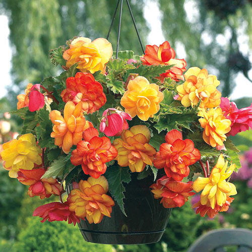 Shop golden balcony hanging basket begonia at breck 39 s - Hanging plants in balcony ...