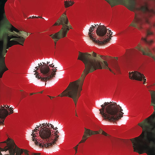 Poppy Anemone Hollandia