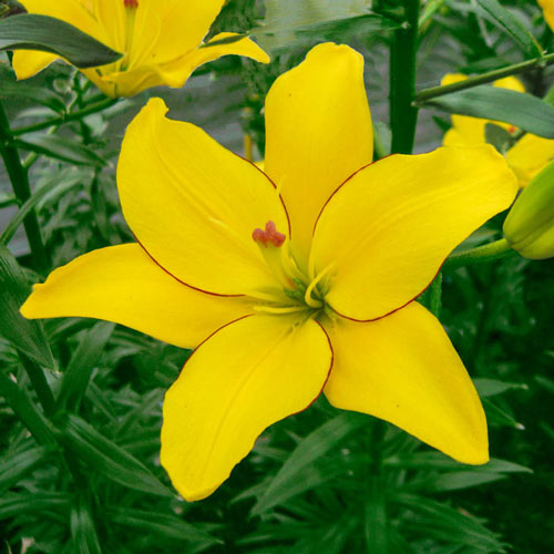 Yellow Cocotte Asiatic Lily