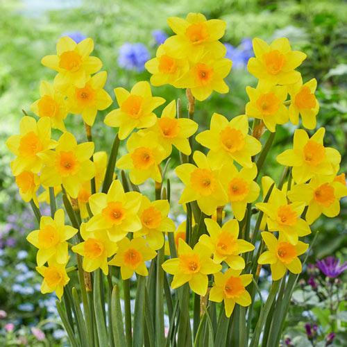 Garden Opera Daffodil