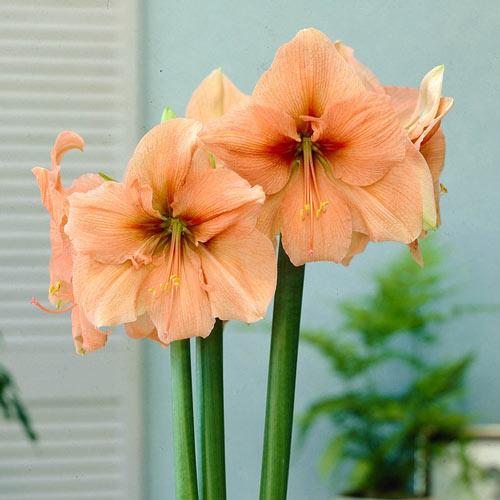 Rilona Amaryllis Bulb