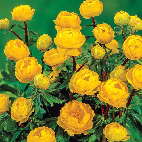 Etna Globeflower