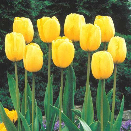 Sun Gold Jumbo Perennial Tulip Golden Tulips