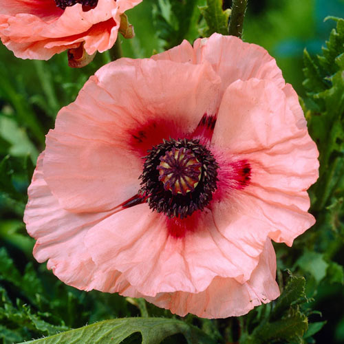 Crop Tulip Mixture Red Yellow Pink Purple And Multi