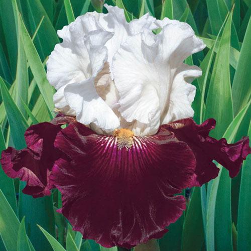 Twist of Sheree Bearded Iris