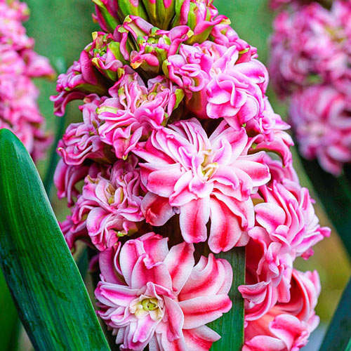 Eros Hyacinth