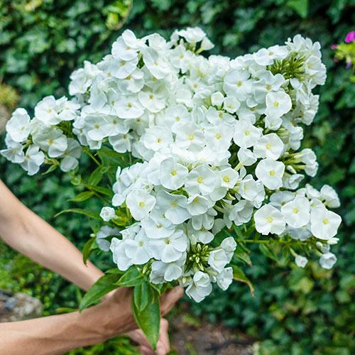 White Titan Phlox Tree