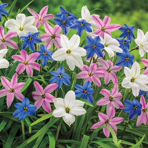 Spring Starflower Mixture