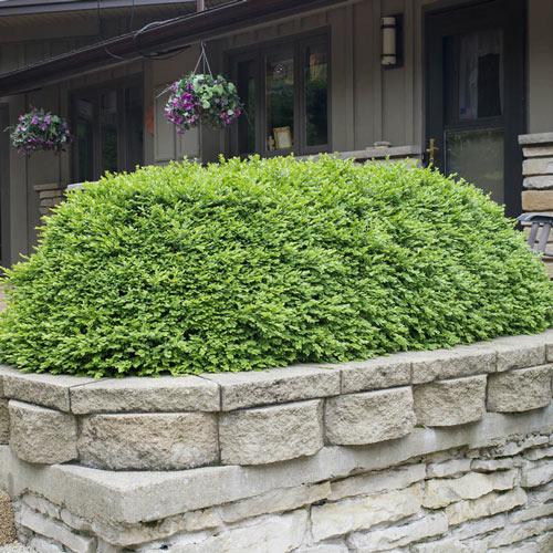 Green Velvet Boxwood