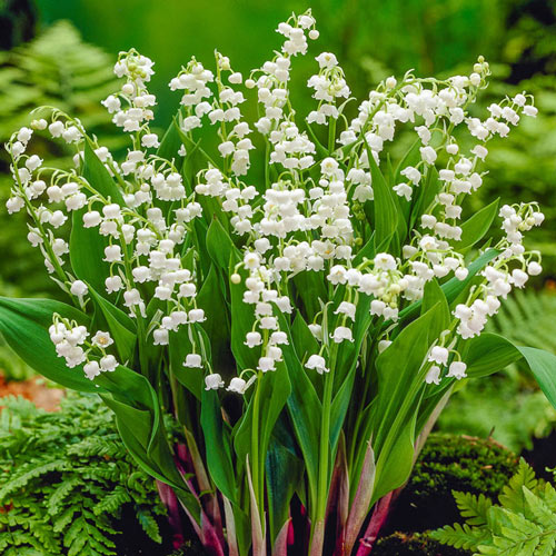 Bridal Choice Lily-of-the-Valley