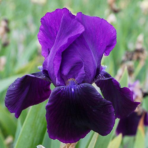 Black Swan Bearded Iris