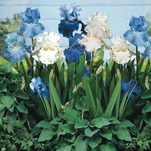 Blue Bearded Iris Mixture
