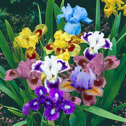 Dwarf Bearded Iris Mixture