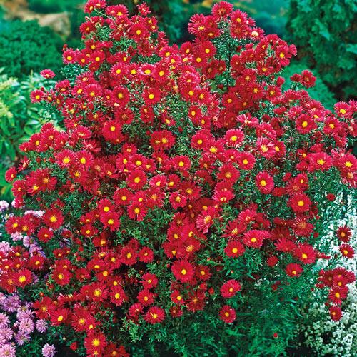 Crimson Brocade Michaelmas Daisy
