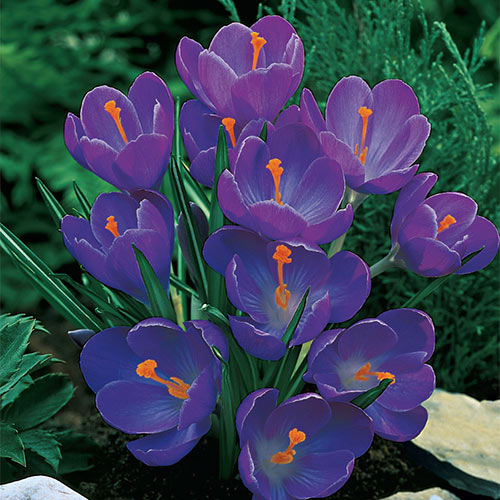Flower Record Giant Dutch Crocus