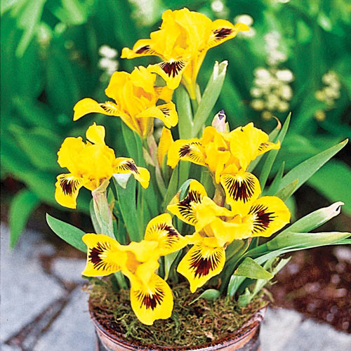 Remembrance Giant Dutch Crocus