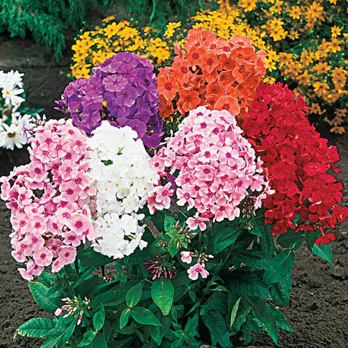 Tall Hybrid Phlox Mixture Super Sak®