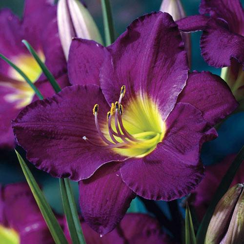 Purple de Oro Dwarf Reblooming Daylily