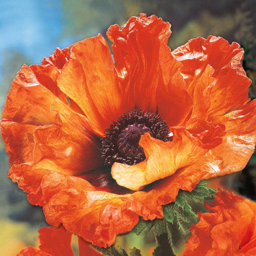 Prince of Orange Oriental Poppy