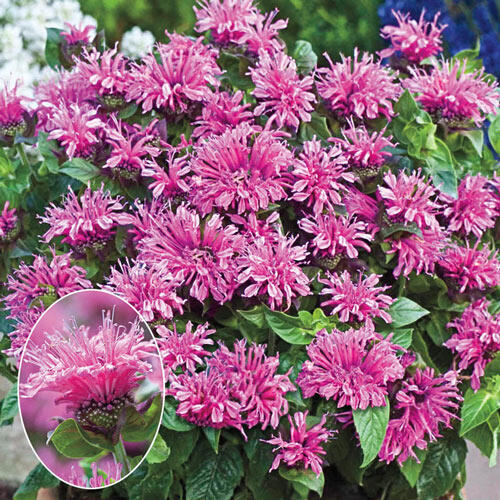 Cranberry Lace® Bee Balm