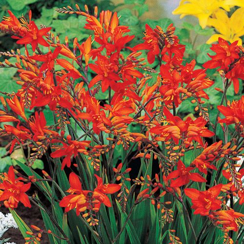 Fire King Crocosmia