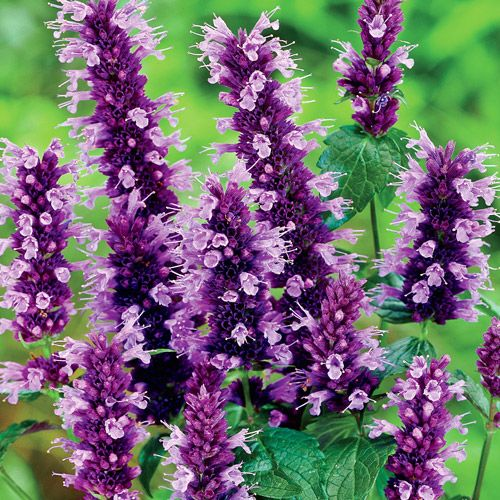 Black Adder Anise Hyssop