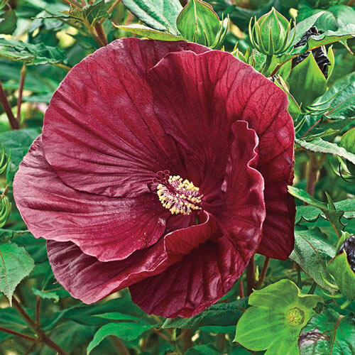 Shop Hibiscus At Brecks Gorgeous Easy Care And Hardy
