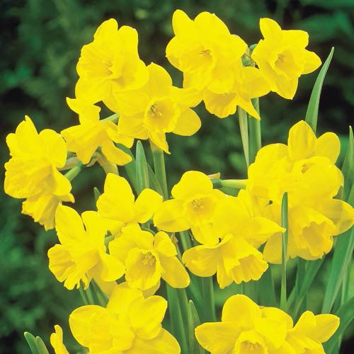 Shop Sweetness Daffodil At Breck S