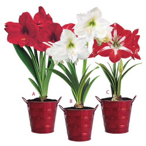 Red Holiday Amaryllis Trio