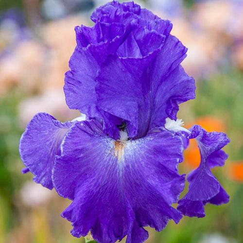 Speeding Again Reblooming Bearded Iris