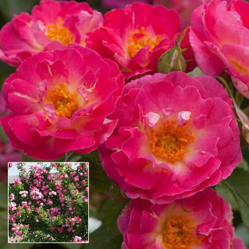 cupids kisses climbing rose brecks com