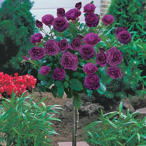 Ebb Tide 24 Patio Tree Rose