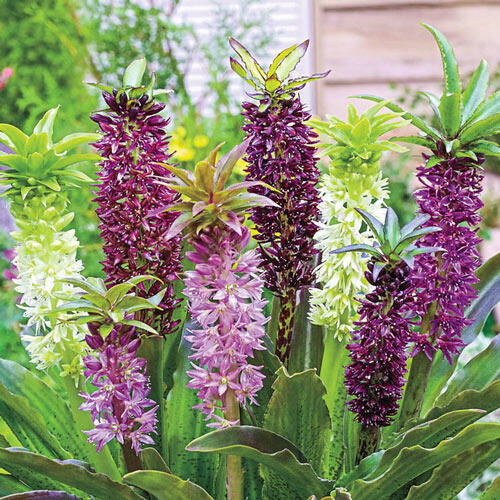 Carnival Pineapple Lily Mixture