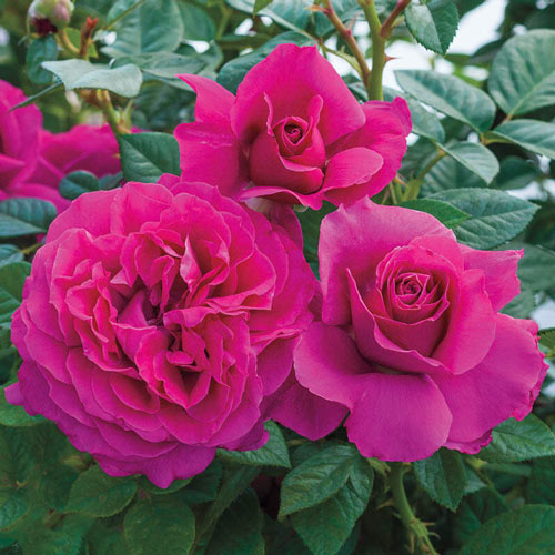 Pretty Lady Rose Downton Abbey Hybrid Tea Rose