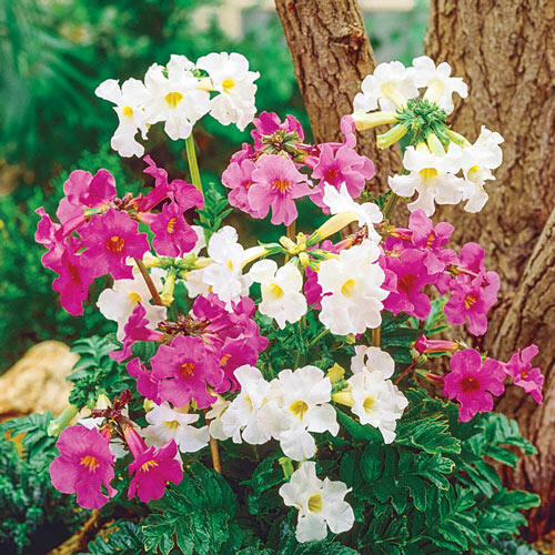 Flowering Fern Mixture