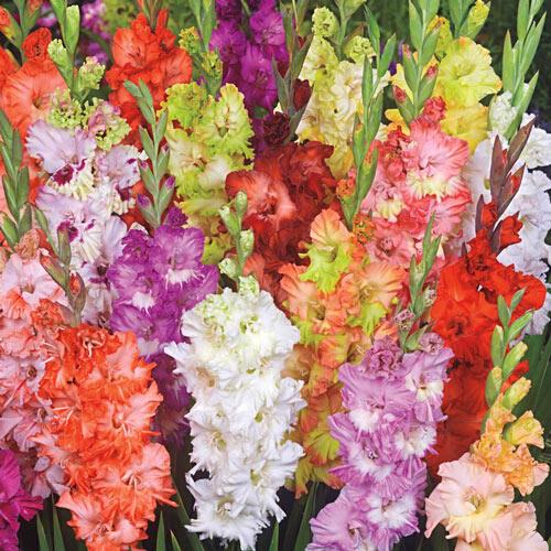 Fringed Glamini® Gladiolus Mixture