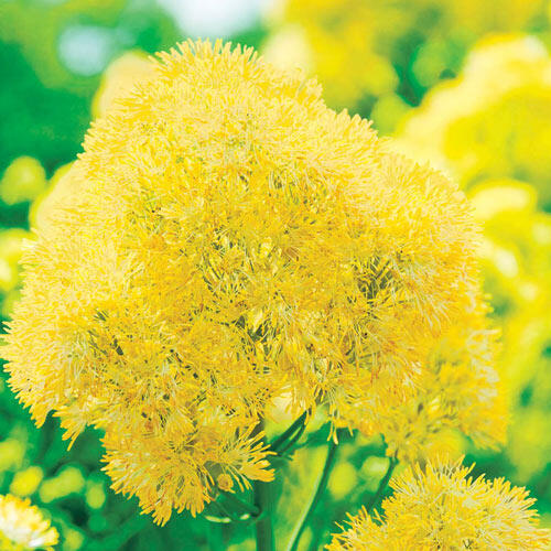 Yellow Meadow Rue