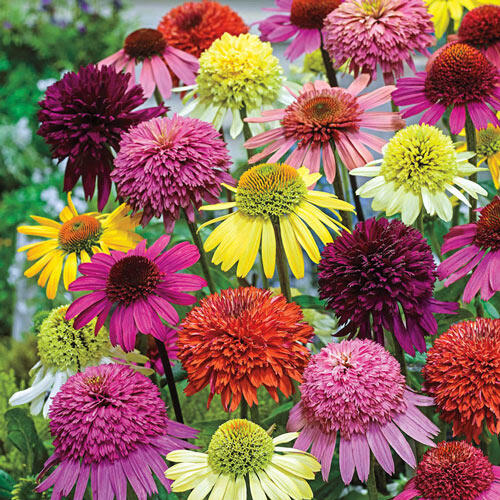 Hybridizer's Coneflower Mixture™ Super Sak®