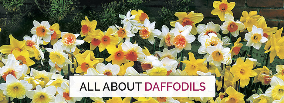 tips on daffodils
