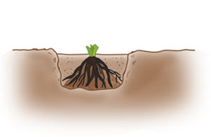Placing Roots