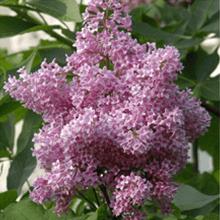 Fragrant Hedges