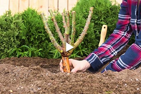 Bareroot Rose - Planting