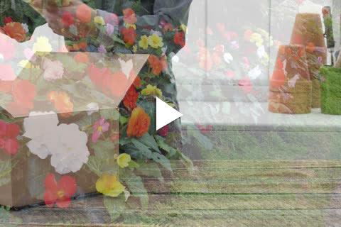 Begonia - Planting Delayed