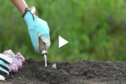 Hardy Bulbs Hyacinth - Planting