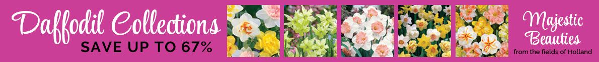 Save up to 67% on Breck's Daffodils!