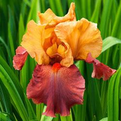 Lovely Senorita Tall Bearded  Iris