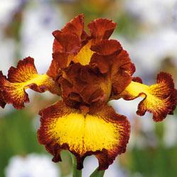 Bee My Honey Bearded Iris
